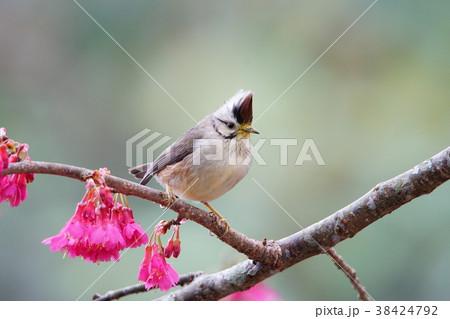 鳥 野鳥 青灰色 38424792