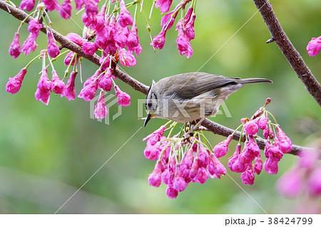 鳥 野鳥 青灰色 38424799