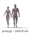 筋肉 解剖 構造のイラスト 38428144