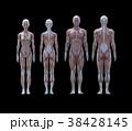 筋肉 解剖 構造のイラスト 38428145