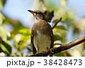 鳥 鳥綱 胸 38428473