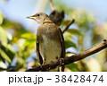 鳥 鳥綱 胸 38428474