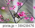 鳥綱 台湾 腰掛け 38428476