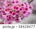 モモの花 はなもも 桃花 38428477
