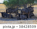 ヌー 動物 野生動物の写真 38428509