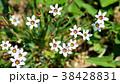 花 植物 野草の写真 38428831