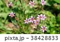 花 植物 野草の写真 38428833