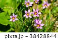 花 植物 野草の写真 38428844