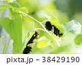 ジャコウアゲハ 蝶 昆虫の写真 38429190