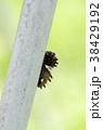 ジャコウアゲハ 蝶 昆虫の写真 38429192