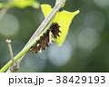 ジャコウアゲハ 蝶 昆虫の写真 38429193