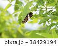 ジャコウアゲハ 蝶 昆虫の写真 38429194