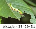 スミナガシ 蝶 昆虫の写真 38429431
