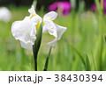 花菖蒲 花 植物の写真 38430394
