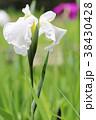 花菖蒲 花 植物の写真 38430428