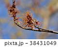 マンサク 花 植物の写真 38431049
