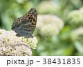 ミドリヒョウモン 蝶 昆虫の写真 38431835