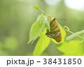 ミドリヒョウモン 蝶 昆虫の写真 38431850