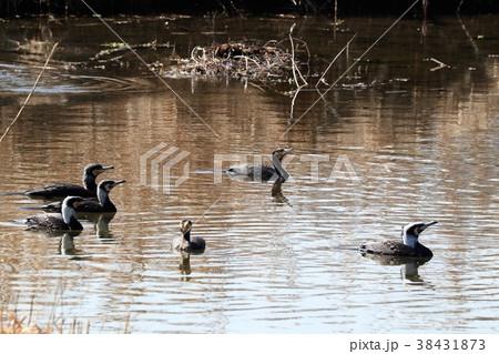 水辺の鳥「川鵜:カワウ」山田池:大阪府枚方市 38431873