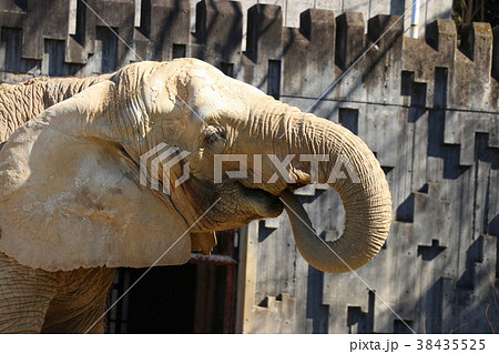 鼻で餌を食べる象 38435525