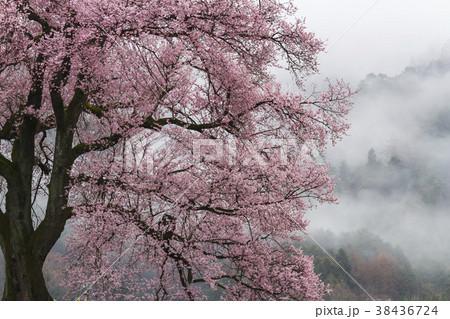 韮崎市わに塚満開の一本桜 38436724