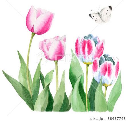水彩で描いたピンクと白のチューリップとモンシロチョウ 38437743