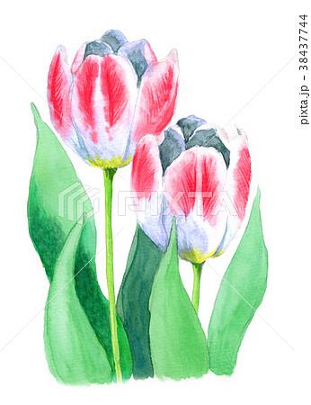 水彩で描いたピンクと白のチューリップ 38437744