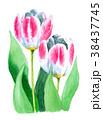 水彩 チューリップ 花のイラスト 38437745