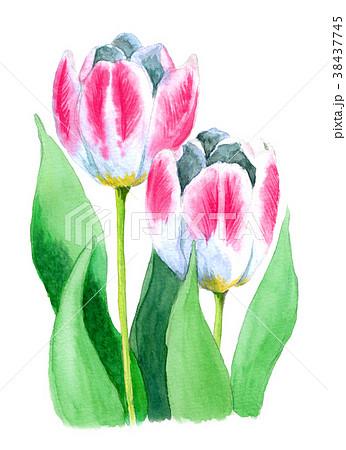 水彩で描いたピンクと白のチューリップ 38437745