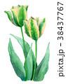 チューリップ 花 ユリ科のイラスト 38437767