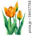 水彩 チューリップ 花のイラスト 38437768