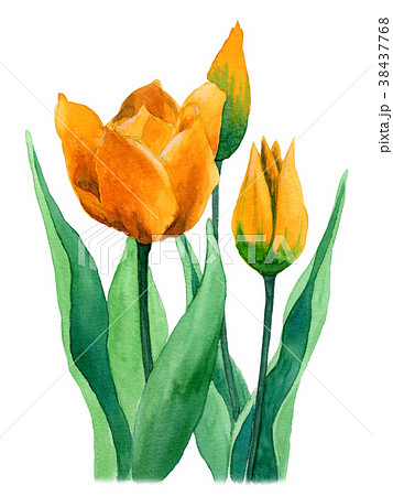 水彩で描いた黄色のチューリップ 38437768