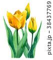 水彩 チューリップ 花のイラスト 38437769