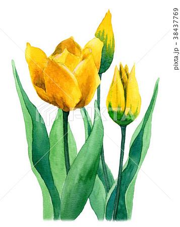水彩で描いた黄色のチューリップ 38437769
