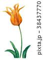 水彩 チューリップ 花のイラスト 38437770