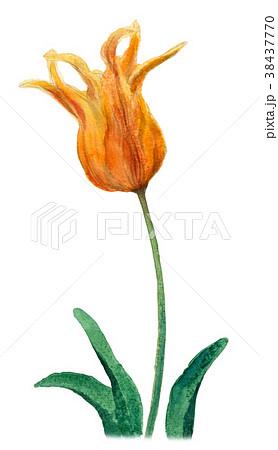 水彩で描いた黄色のチューリップ 38437770