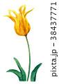 チューリップ 花 ユリ科のイラスト 38437771