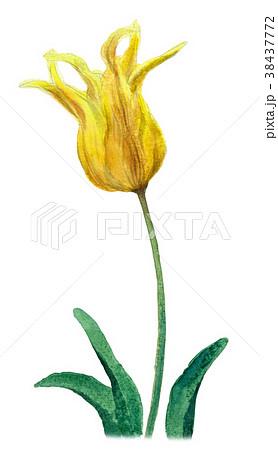 水彩で描いた黄色のチューリップ 38437772