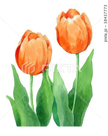 水彩で描いたオレンジ色のチューリップ 38437773