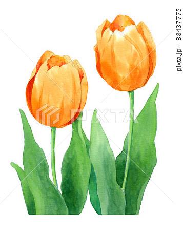 水彩で描いたオレンジ色のチューリップ 38437775