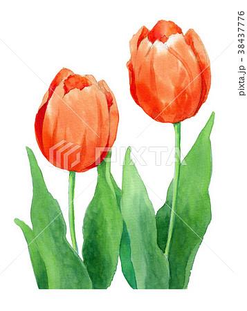 水彩で描いた赤いチューリップ 38437776