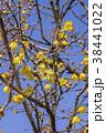 蝋梅 花 ロウバイの写真 38441022