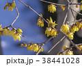 蝋梅 花 ロウバイの写真 38441028