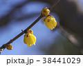 蝋梅 花 ロウバイの写真 38441029