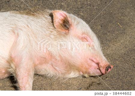子豚の寝顔 38444602
