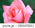 バラ 薔薇 植物の写真 38445641