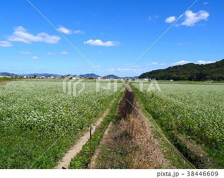 「そばの郷 金剛山」の満開の蕎麦畑(兵庫県たつの市揖保川町金剛山) 38446609
