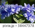 額紫陽花 ガクアジサイ 花の写真 38447378