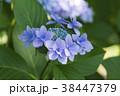額紫陽花 ガクアジサイ 花の写真 38447379