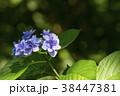 額紫陽花 ガクアジサイ 花の写真 38447381